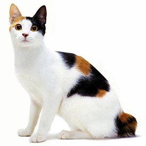 Gato de raza Bobtail